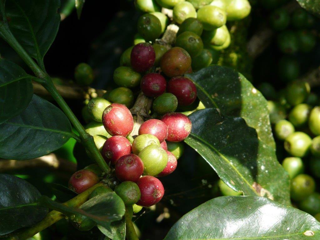 Genoma del caffè